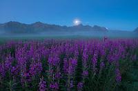 Flowers emerge from mist during summer twilight on Gimsøy, Lofoten Islands, Norway