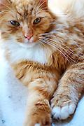 Liggende kat met open ogen - Lying cat with open eyes