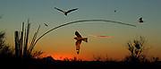 MIDSUMMER NIGHT'S DREAM | Common (Chordeiler minor) and Lesser (C. acuipennis) nighthawks in an insect swarm, Sonoran desert, se Arizona
