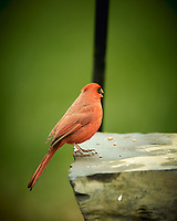 Male Northern Cardinal. Image taken with a Nikon D4 camera and 600 mm f/4 VR lens (ISO 220, 600 mm, f/4, 1/200 sec).