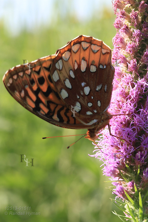 Great spangled fritillary (Speyeria cybele) butterfly sips nectar from blazing star (Liatris pycnostachya) at Shaw Nature Reserve, Gray Summit, Missouri.