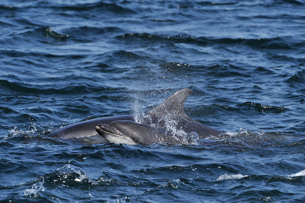 Pair of adult Bottle-nosed Dolphins surfacing,<br /> Tursiops truncatus,<br /> Moray Firth, Nr Inverness, Scotland - May