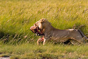 Young male lion runs off with portion of a kill, Serengeti National Park, Tanzania