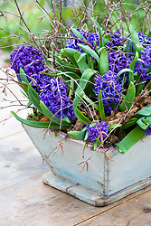 Forced hyacinths - Hyacinthoides 'Peter Stuyvesant' - in a wooden container
