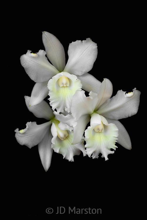 Cattleya, white #12
