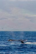 Humpback Whale, Megaptera novaeangliae, Tail Wave 6 of 8, Maui Hawaii