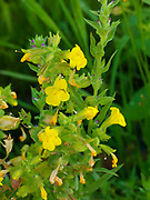 Monkeyflower, Mimulus sp., blooming near spring, Leslie Gulch Area of Critical Environmental Concern, Oregon.