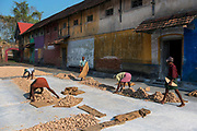 Drying freshly harvested ginger roots.Fort Cochin