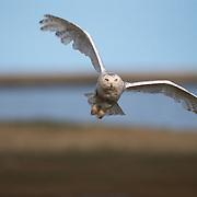 Snowy Owl (Bubo scandiacus) adult in flight. Barrow, Alaska
