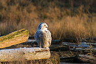A Snowy Owl (Bubo scandiacus) watches the marsh from the driftwood at Boundary Bay in Delta, British Columbia, Canada