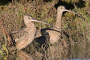 Pair of Long-billed Curlews.(Numenius americanus).Back Bay Reserve, California
