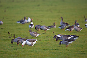 Grazing Greylag Geese, Swinbrook, Oxfordshire, UK. Free-range birds may be at risk if Avian Flu bird flu virusspreads.