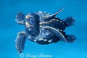 loggerhead sea turtle hatchling, Caretta caretta (c), <br /> Miami, Florida, USA