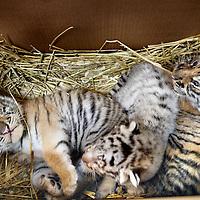 Nederland, Amsterdam , 17 juli 2012..Onlangs zijn er drie jonge tijgers geboren bij Circus Renaissance. De tijgergroep van dompteur Mario Masson is van 9 naar 12 Siberische tijgers gegroeid. De moedertijger is de zevenjarige tijgerin Lola de vader is de witte tijger Defo en is ook zeven jaar oud. De moeder en de baby`s maken het goed..Foto:Jean-Pierre Jans