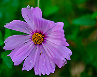 Cosmos. Image taken with a Fuji X-H1 camera and 80 mm f/2.8 OIS macro lens.