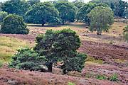 Nederland, Mook, 23-8-2019 Natuurgebied De Mookerheide. Mensen wandelen door het gebied . Nu het even geregend heeft staat de hei mooi in bloei. Toch zijn er door de droogte van dit en vorig jaar veel heistruiken dood gegaan, verdord. Door het hoge stikstofgehalte zijn grote plekken ontstaan waar gras de overhand heeft gekregen . Dit vergrassen bedreigt de hei . Er lopen grote grazers , wilde runderen, schotse hooglanders, in het gebied om het te begrazen . Ook bekend om de historische Slag op de Mookerheide op 14 april 1574. De Mookerhei is een natuurgebied ten oosten van Mook in de provincie Limburg. Zij ligt op een uitloper van de Nijmeegse stuwwal. In het zuidelijke deel groeit struikheide die normaal in augustus prachtig bloeit. Dit gebied is onderdeel van de wandelroute, pelgrimsroute, walk of wisdom door het rijk van Nijmegen. Foto: ANP/ Hollandse Hoogte/ Flip Franssen