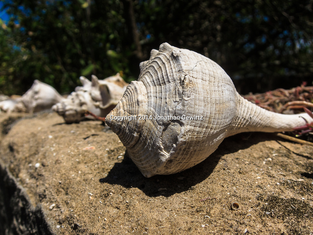 Whelk shells on a stone wall at Lopez River campsite on the Florida Everglades Wilderness Waterway.<br /> WATERMARKS WILL NOT APPEAR ON PRINTS OR LICENSED IMAGES.