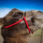 Extreme closeup of camel face (Gorkhi-Terelj national park, Mongolia - Sep. 2008) (Image ID: 080917-1554051a)