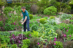 Hoeing weeds amongst bedding in a border