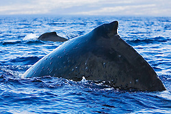 Humpback Whales, Megaptera novaeangliae, with numerous whale warts - bumps or swellings made by parasitic worms which coil up into tight balls infesting the subdermal layer, Hawaii, Pacific Ocean.