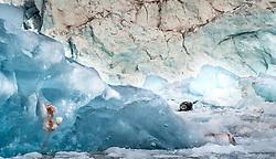 Bearded seal (Erignathus barbatus) on glacier ice in front of the Kongsbreen glacier, Kongsfjord, Spitsbergen, Svalbard, Norway