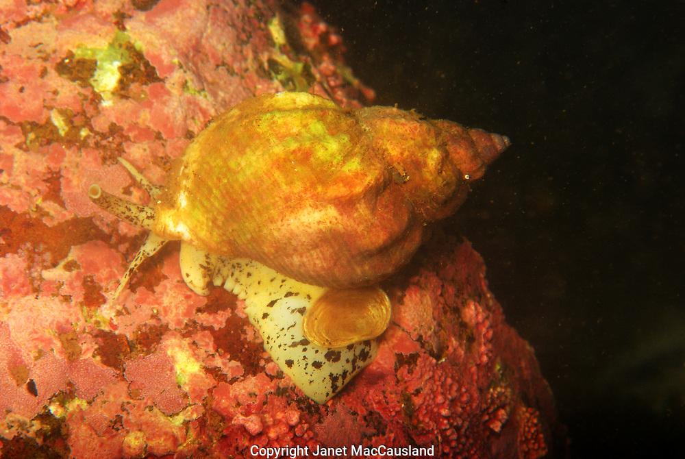 A Waved Whelk (Buccium undatum) slides along a coralline encrusted rock, trailing its' operculum along like a bridal chain.