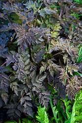 Foliage of Anthriscus sylvestris 'Ravenswing'. Black leaved cow parsley