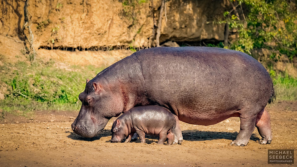 A hippo mother foraging on the riverbank in the Congo.<br /> <br /> Open Edition Print / Stock Image<br /> <br /> 'Image Size' below refers to the size of the thumbnail. The photograph is of high resolution.