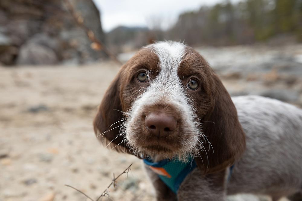 Spinone Italiano puppy closeup portrait