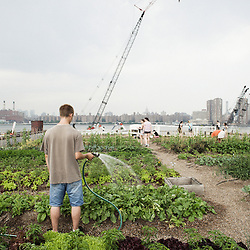 Eagle Street Rooftop Farm in Greenpoint, Brooklyn (NY).  20 June 2010. Photo: Antoine Doyen