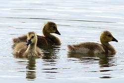24 May 2014:   3 goslings.