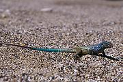 ground lizard, Cnemodophorus murinus,<br /> Boca Cocolishi, Bonaire, <br /> Netherlands Antilles,<br /> ( Caribbean Sea )