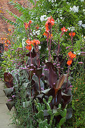 Canna 'General Eisenhower' in the exotic garden at Great Dixter