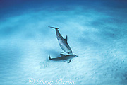 Atlantic spotted dolphins, Stenella frontalis, mother disciplines calf by holding it on bottom, Little Bahama Bank, Bahamas ( Western Atlantic Ocean )