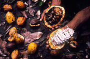 "A Cocoa worker holds a healthy Cocoa pod and one attached by a deadly fungus known as ""Vassoura da Bruxa"" which is wipping out the cocoa plants, Bahia, Brazil"