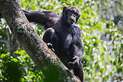 An non-habituated male chimpanzee (Pan troglodyte) looking down from the safety of a tree branch, Kibale National Park, Uganda, Africa