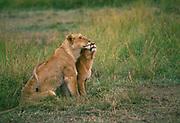 Image of a lioness nurturing her cub in grassland, Masai Mara Reserve, Kenya, Africa by Randy Wells