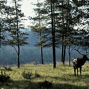 Elk, (Cervus elaphus) bull in timber. Evening sunsetting. Fall rut. Rockies.