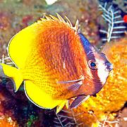 Blacklip Butterfly inhabit reefs. Picture taken Bali, Indonesia.