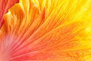 Close-up of Hibiscus flower petals