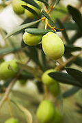 Olives on a branch Salonenque variety. Moulin Mas des Barres olive mill, Maussanes les Alpilles, Bouches du Rhone, Provence, France, Europe