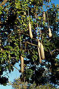 Sausage Tree, Zambia, Kigelia africana, close up showing shaped fruit hanging from branches