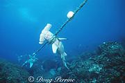 scalloped hammerhead sharks, Sphyrna lewini, Endangered Species, killed in illegal fishing net, Wolf ( Wenman ) Island Island, Galapagos Marine Reserve, Galapagos Islands, Ecuador ( E. Pacific )