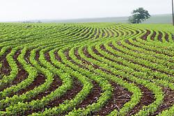 Maringa, PR, Brasil     11/2005.Soja, plantio direto, tecnica em que a soja e semeada apos a colheita anterior, de outra cultura, como aveia, trigo ou milho. O plantio direto eh um sistema diferenciado de manejo do solo, visando diminuir o impacto da agricultura e das maquinas agricolas (tratores, arados, etc) sobre o mesmo./ Plantation of Soya in Parana, Brazil.No-till farming (sometimes called zero tillage) is a way of growing crops from year to year without disturbing the soil through tillage. No-till is an emergent agricultural technique which can increase the amount of water in the soil and decrease erosion. It may also increase the amount and variety of life in and on the soil but may require increased herbicide usage..Foto Marcos Issa/Argosfoto