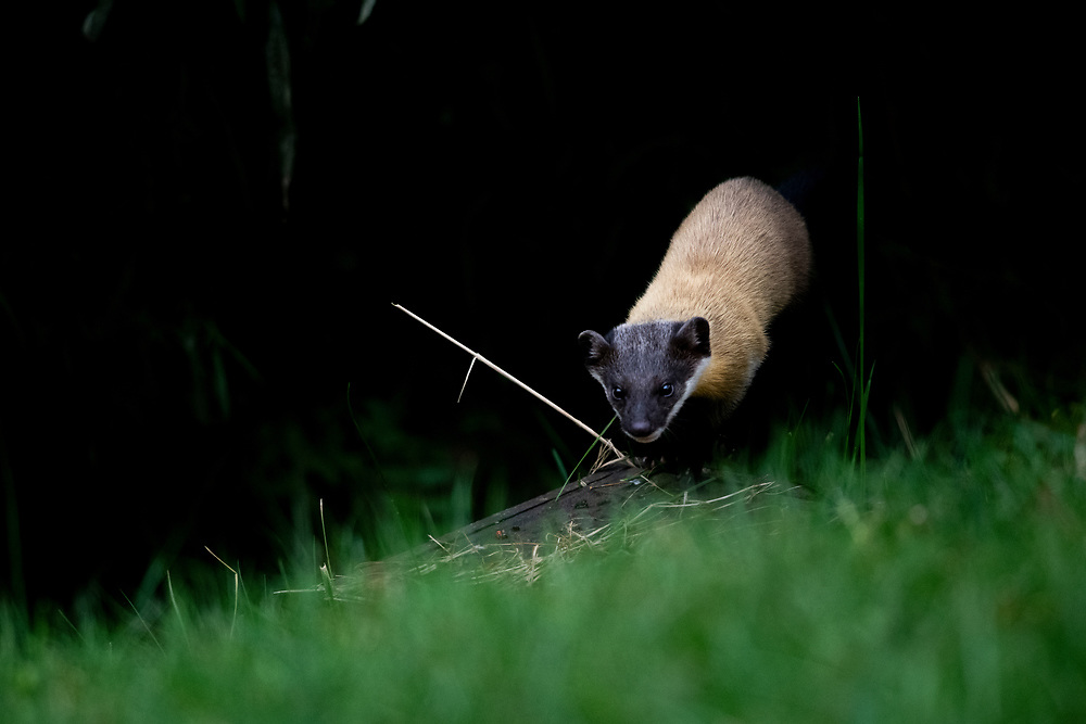 Yellow-throated Marten (Martes flavigula) jumping out of forest cover
