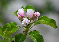 THEMENBILD - rosa weiße Blüten eines Apfelbaum, aufgenommen am 26. April 2018, Kaprun, Österreich //Blossoms of an apple tree on 2018/04/26, kaprun, Austria. EXPA Pictures © 2018, PhotoCredit: EXPA/ Stefanie Oberhauser