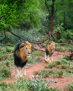Black-maned male lions emerge from forest on game trail, Madikwi Game Reserve, South Africa, © David A. Ponton
