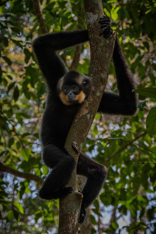A large protected wild population of this Endangered species can be found in Cat Tien National Park, Vietnam. It's also found in Laos and Cambodia, where a recent survey has found a population of 2,500 in the Seima Wildlife Reserve.