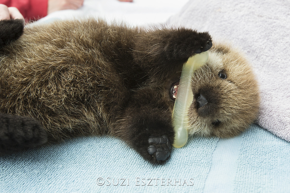 Sea Otter <br /> Enhydra lutris<br /> Three-week-old orphaned pup playing with chew toy<br /> Alaska Sea Life Center, Seward, Alaska