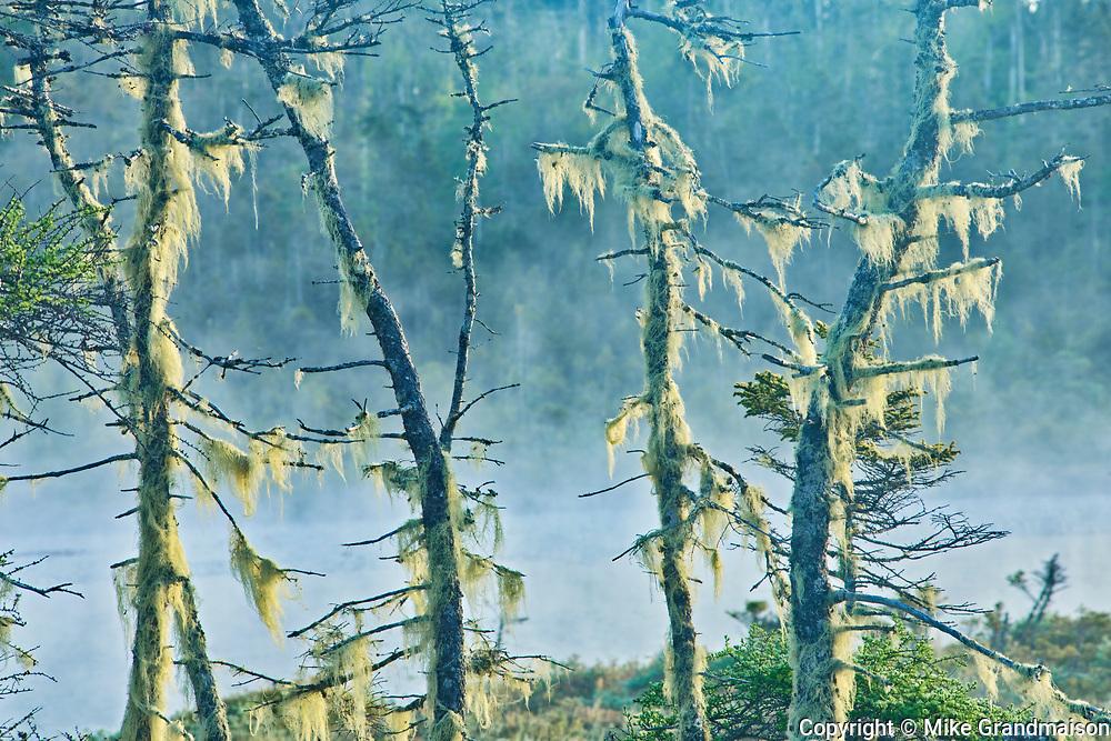 Lichens on trees in fog, West Quoddy, Nova Scotia, Canada